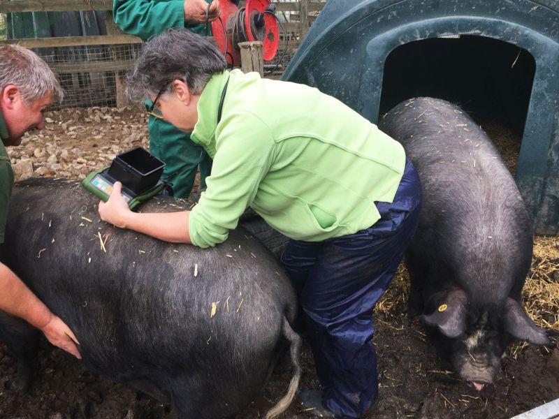 Pig scanning