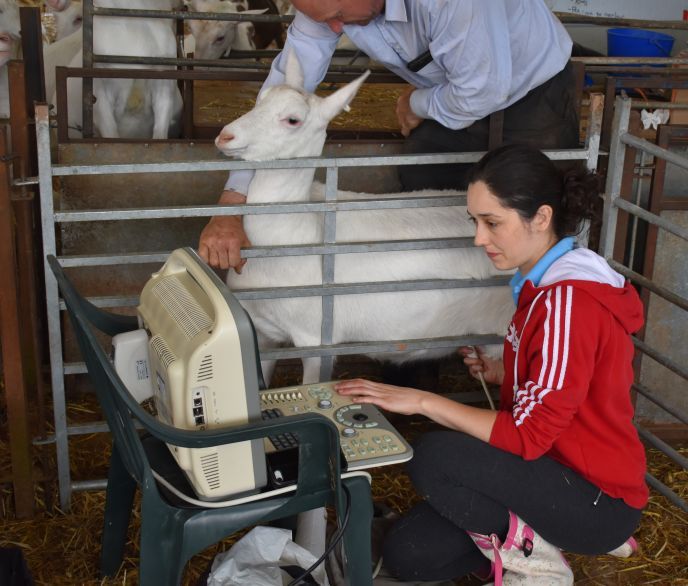 Goat scanning in Hereford