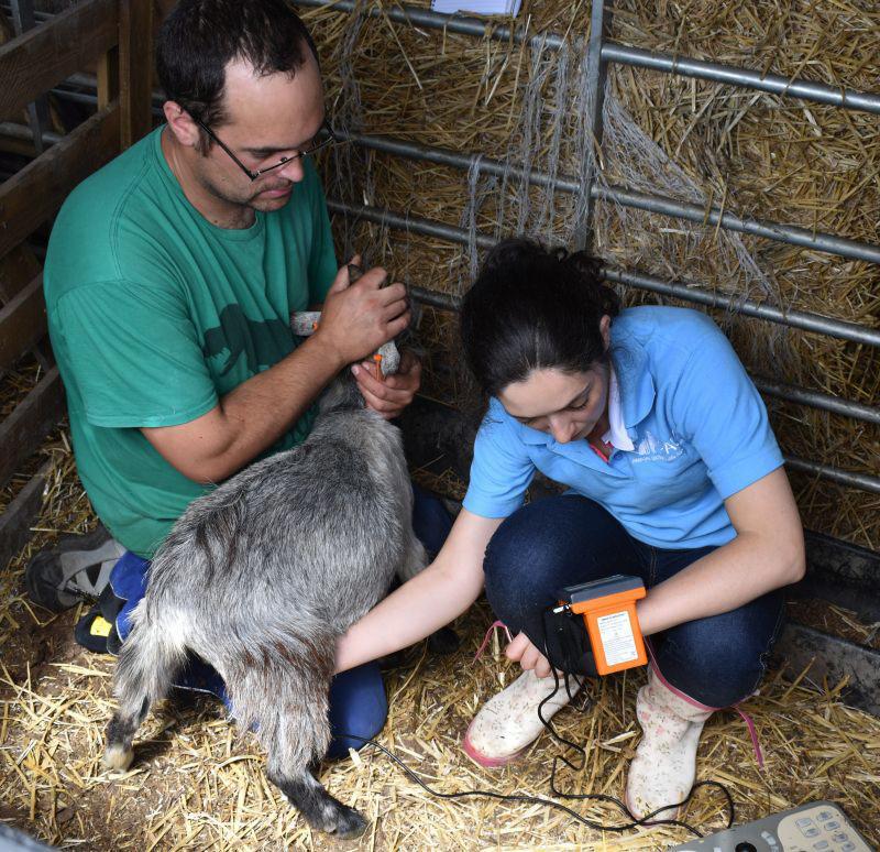 MSU3 on goats