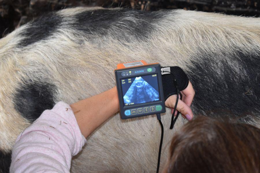 Sarah scanning her pig