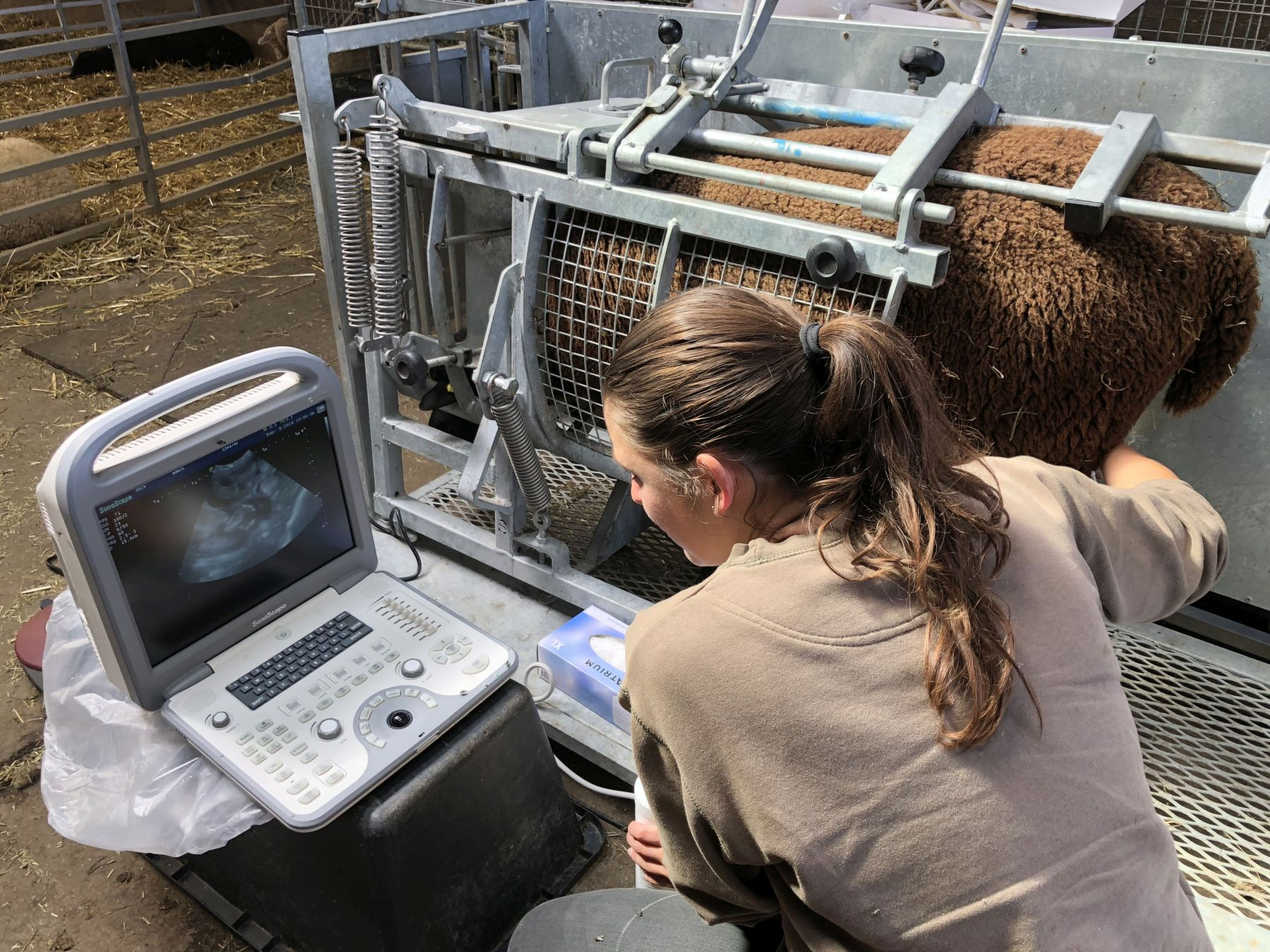 Alison scanning sheep